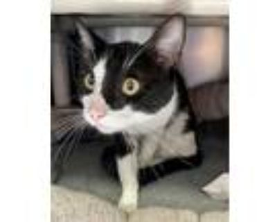 Adopt Cowboy a Black & White or Tuxedo Domestic Shorthair / Mixed cat in