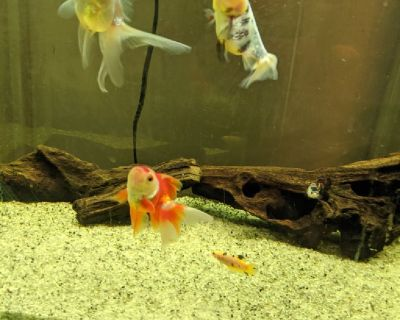 Fancy goldfish, female bettas, 2 mystery snails