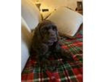 Adopt Brandy a Brown/Chocolate Cocker Spaniel / Mixed dog in Chesterfield