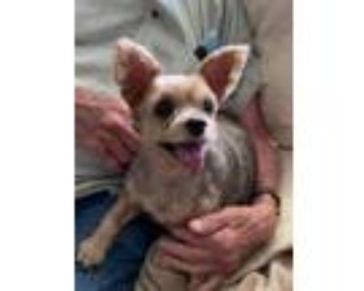 Adopt Lucy 3 a Yorkshire Terrier