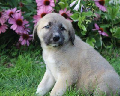 Anatolian Shepherd Dog Puppies