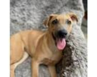 Adopt Ashley Mae LLD a Tan/Yellow/Fawn Dutch Shepherd / Mixed dog in Rosemont