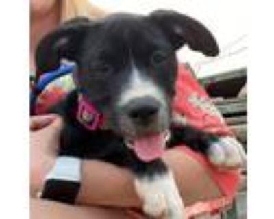 Adopt GLAMIS SOCIETY- A CASTLE PUP a Labrador Retriever, Mixed Breed