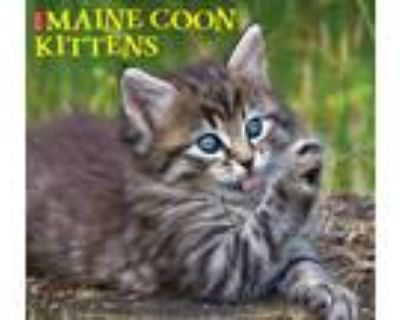 Adopt MAINE COON KITTENS INFO a Brown Tabby Maine Coon (medium coat) cat in