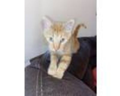 Adopt Sunrise James a Orange or Red Tabby Domestic Shorthair / Mixed (short