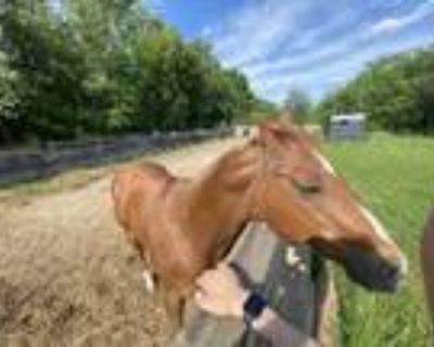 Thunder Gelding Stock horse