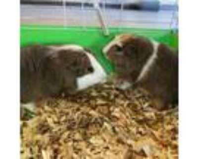 Adopt Eddy (and Ed) a Guinea Pig
