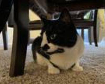 Adopt Meru a Black & White or Tuxedo American Shorthair / Mixed (short coat) cat