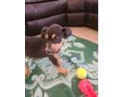 Adopt Big Daddy a Doberman Pinscher, Labrador Retriever