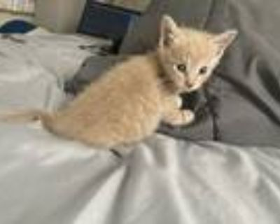 Adopt Prince a Cream or Ivory American Shorthair / Mixed (short coat) cat in