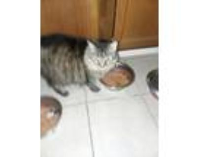 Adopt Lula Bell (her person died) a Domestic Medium Hair