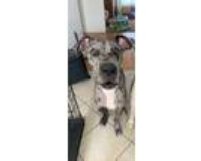 Adopt Berkeley a Gray/Silver/Salt & Pepper - with White Great Dane / Mixed dog