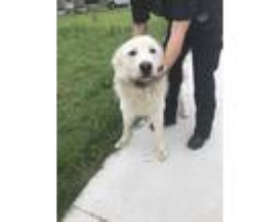 Adopt 47891613 a White Great Pyrenees / Mixed dog in Fort Worth, TX (31517507)