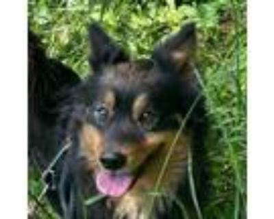 Adopt Nick Fury a Black - with Tan, Yellow or Fawn Jindo / Border Collie / Mixed