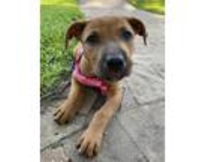 Adopt June a Black Mouth Cur, Terrier