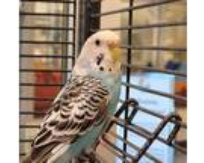Adopt Jessie a Parakeet - Other bird in Golden, CO (31921300)