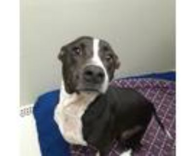 Adopt Jace a Black Labrador Retriever / Australian Cattle Dog / Mixed dog in
