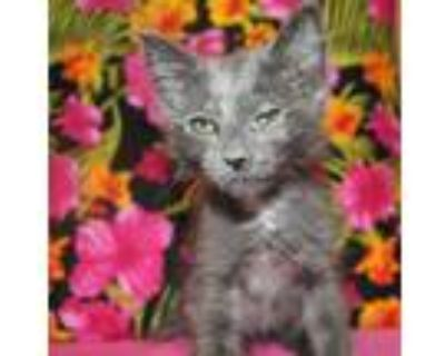 Adopt DOTTIE a Gray or Blue (Mostly) Domestic Longhair / Mixed (long coat) cat