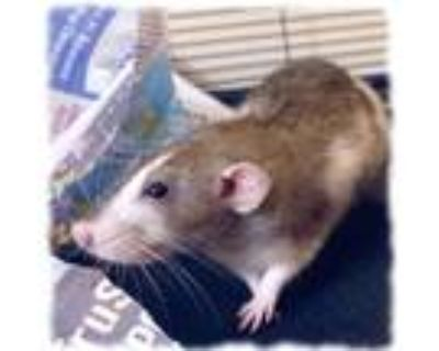 Adopt PEEP a White Rat / Rat / Mixed small animal in Slinger, WI (32065813)