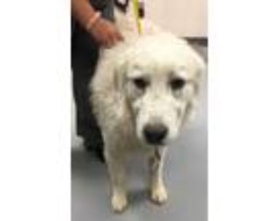 Adopt 47905710 a White Great Pyrenees / Mixed dog in Los Lunas, NM (31468603)