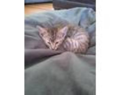 Adopt WILLOW a Domestic Shorthair / Mixed (short coat) cat in Gloucester