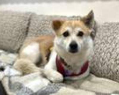 Adopt Aspen a Welsh Terrier, Corgi