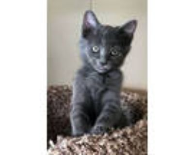 Adopt Timba a Russian Blue