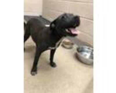 Adopt 48011414 a Black Labrador Retriever / Mixed dog in Shelby, NC (31628620)