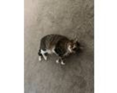 Adopt Charlie a Tiger Striped American Shorthair / Mixed cat in Winter Park
