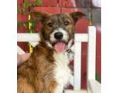Adopt Pepe a Airedale Terrier