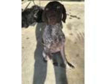 Adopt Molly a White - with Brown or Chocolate German Shorthaired Pointer / Mixed