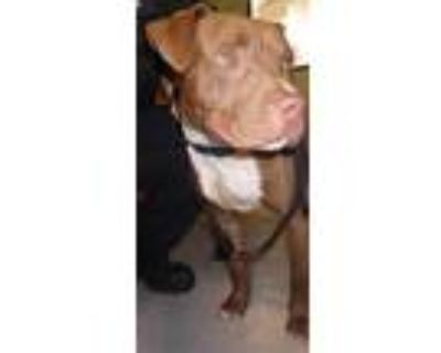 Adopt DONUT a Tan/Yellow/Fawn - with White American Pit Bull Terrier / Mixed dog