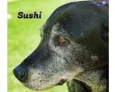 Adopt Sushi a Labrador Retriever, Mixed Breed