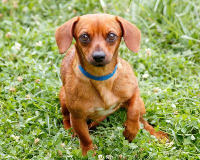 Toni 11045 - Dachshund/Terrier - Adult Female
