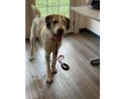 Adopt Fergus a Irish Wolfhound