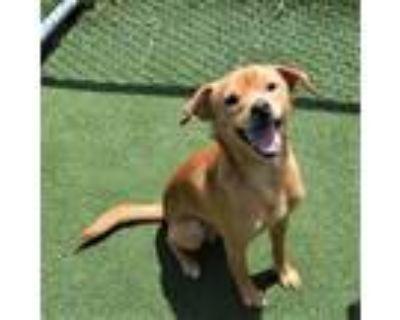 Adopt PEPSI a Labrador Retriever, Mixed Breed