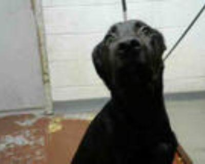Adopt YAZMIN a Black Labrador Retriever / Mixed dog in Atlanta, GA (32101105)