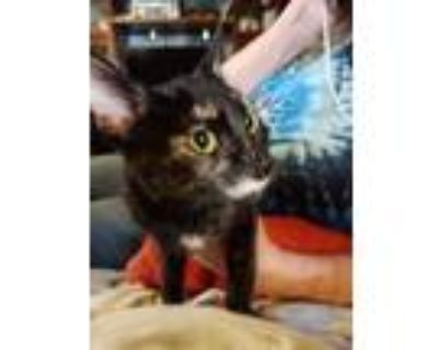 Adopt Torrie a Black (Mostly) Domestic Shorthair / Mixed cat in Modesto