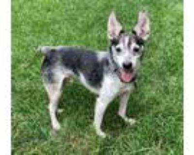 Adopt Edwin a Fox Terrier