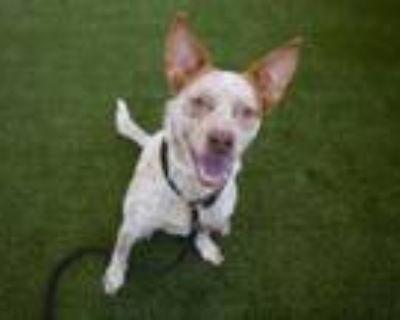 Adopt PRINCESS a Australian Cattle Dog / Blue Heeler