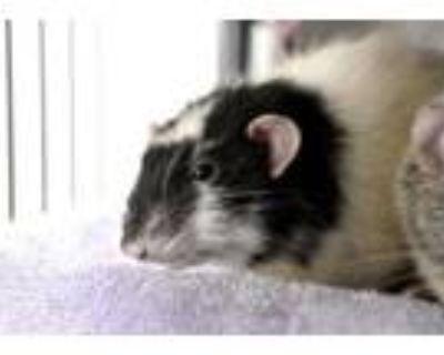 Adopt Twix a Rat