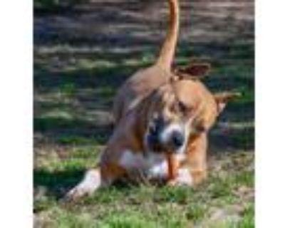 Adopt Tonya a Pit Bull Terrier, Boxer