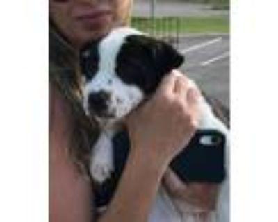 Adopt Oreo a White - with Black Anatolian Shepherd dog in Pekin, IL (31960270)