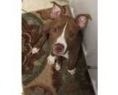 Adopt Penny a Red/Golden/Orange/Chestnut - with White Pit Bull Terrier / Mixed