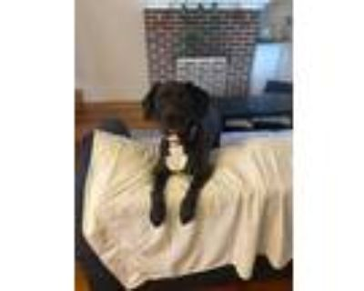 Adopt Sadie a Black - with White Boxer / Hound (Unknown Type) / Mixed dog in