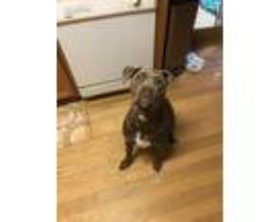 Adopt Dyson a Brown/Chocolate American Pit Bull Terrier / Mixed dog in Canton