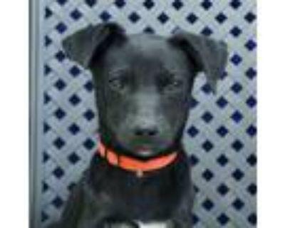 Adopt Ace a Labrador Retriever, Border Collie