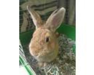 Adopt Horchata a Tan Other/Unknown / Other/Unknown / Mixed rabbit in Newport
