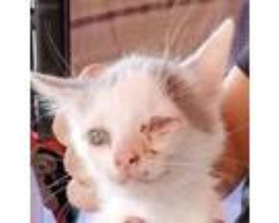 Adopt 48182162 a White Domestic Shorthair / Mixed cat in El Paso, TX (31961291)