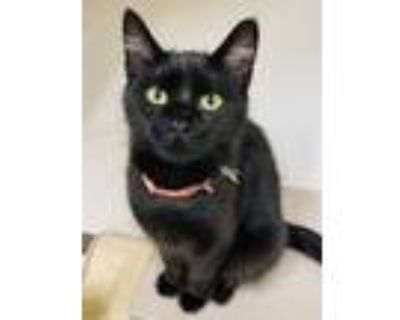 Adopt Energizer a All Black Domestic Shorthair / Domestic Shorthair / Mixed cat